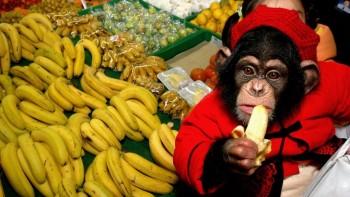 Шимпанзе, выращенные человеком, имеют проблемы с поведением на протяжении всей жизни